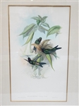 John Gould Hand Colored Engraving Heliotrypha Viola Hummingbirds
