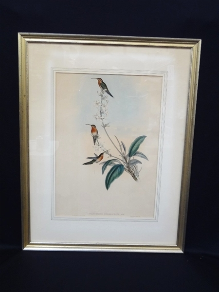 John Gould Ornithology Hummingbird Lithograph Matted and Framed